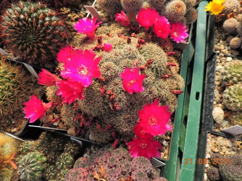 Cacti and Sukkulent in Köln, every day new flowers in the greenhouse Part 129 Bild_659