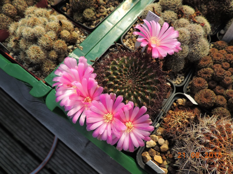 Cacti and Sukkulent in Köln, every day new flowers in the greenhouse Part 129 Bild_660