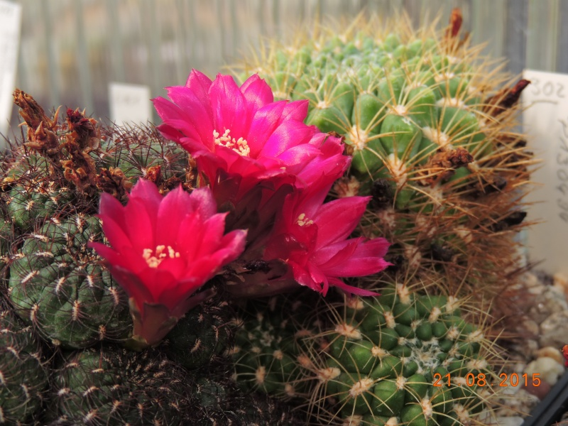 Cacti and Sukkulent in Köln, every day new flowers in the greenhouse Part 129 Bild_661