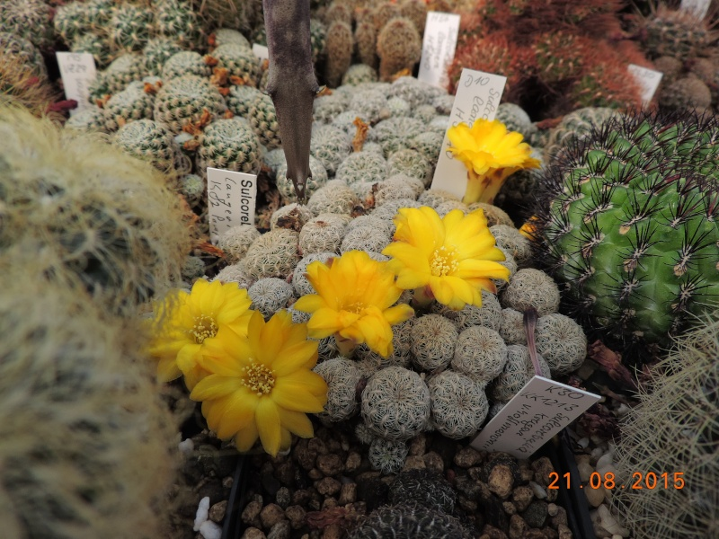 Cacti and Sukkulent in Köln, every day new flowers in the greenhouse Part 129 Bild_662