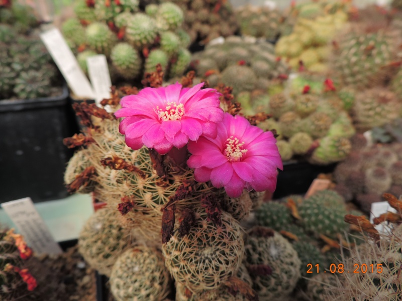 Cacti and Sukkulent in Köln, every day new flowers in the greenhouse Part 129 Bild_663
