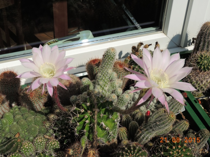 Cacti and Sukkulent in Köln, every day new flowers in the greenhouse Part 129 Bild_665