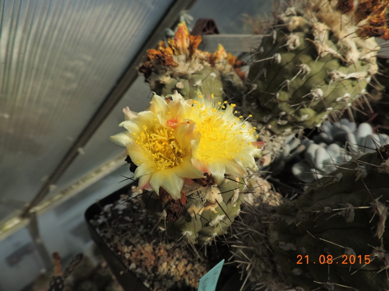 Cacti and Sukkulent in Köln, every day new flowers in the greenhouse Part 129 Bild_666