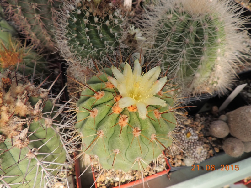 Cacti and Sukkulent in Köln, every day new flowers in the greenhouse Part 129 Bild_667