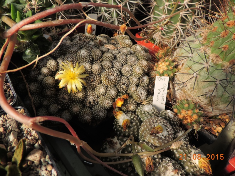 Cacti and Sukkulent in Köln, every day new flowers in the greenhouse Part 129 Bild_669