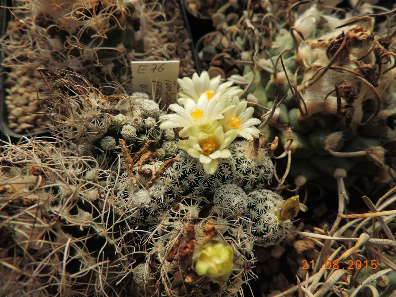 Cacti and Sukkulent in Köln, every day new flowers in the greenhouse Part 129 Bild_672