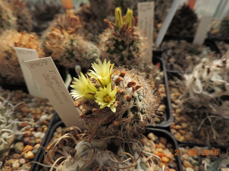 Cacti and Sukkulent in Köln, every day new flowers in the greenhouse Part 129 Bild_674