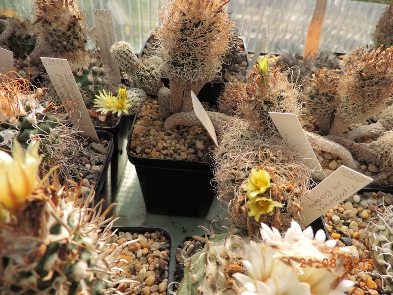 Cacti and Sukkulent in Köln, every day new flowers in the greenhouse Part 129 Bild_675