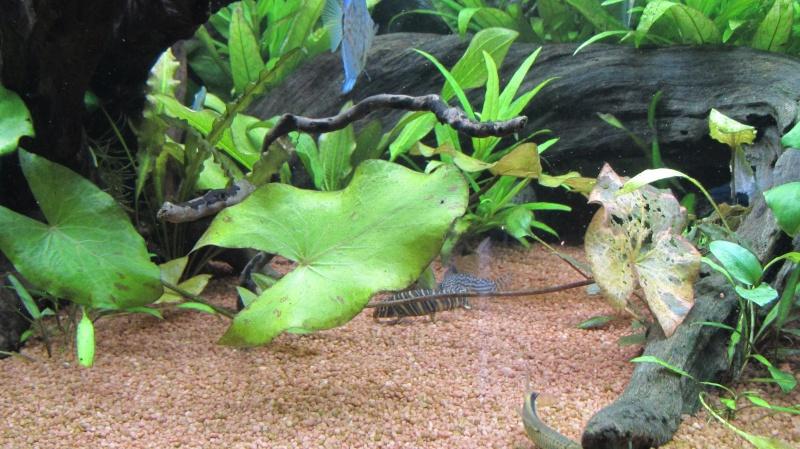 Création nouvel Aquarium amazonien 830 litres  - Page 12 Img_4826