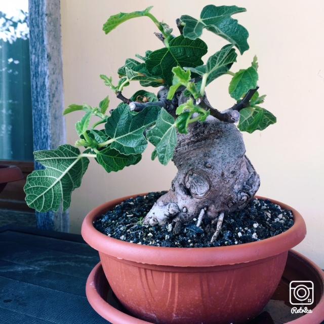Yamadori di Ficus carica, new entry in collezione... Img_7210