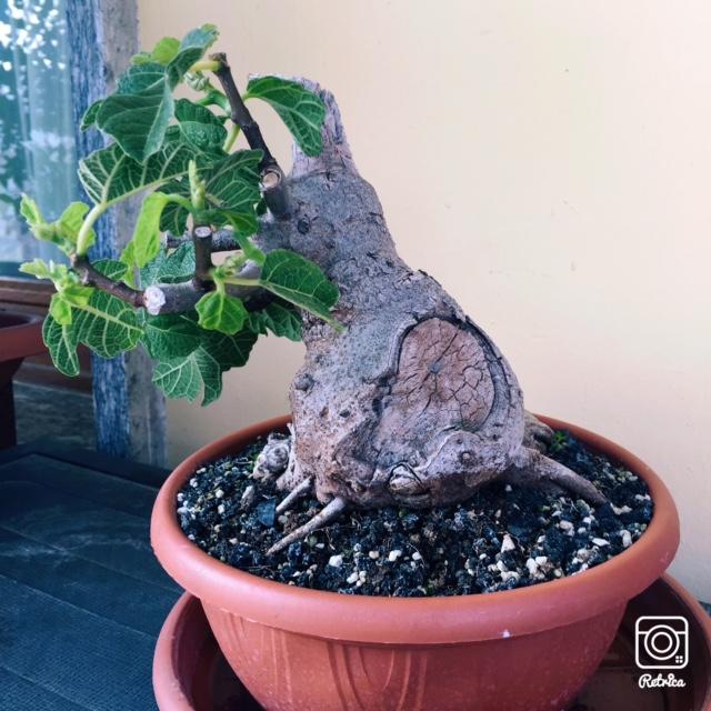 Yamadori di Ficus carica, new entry in collezione... Img_7211