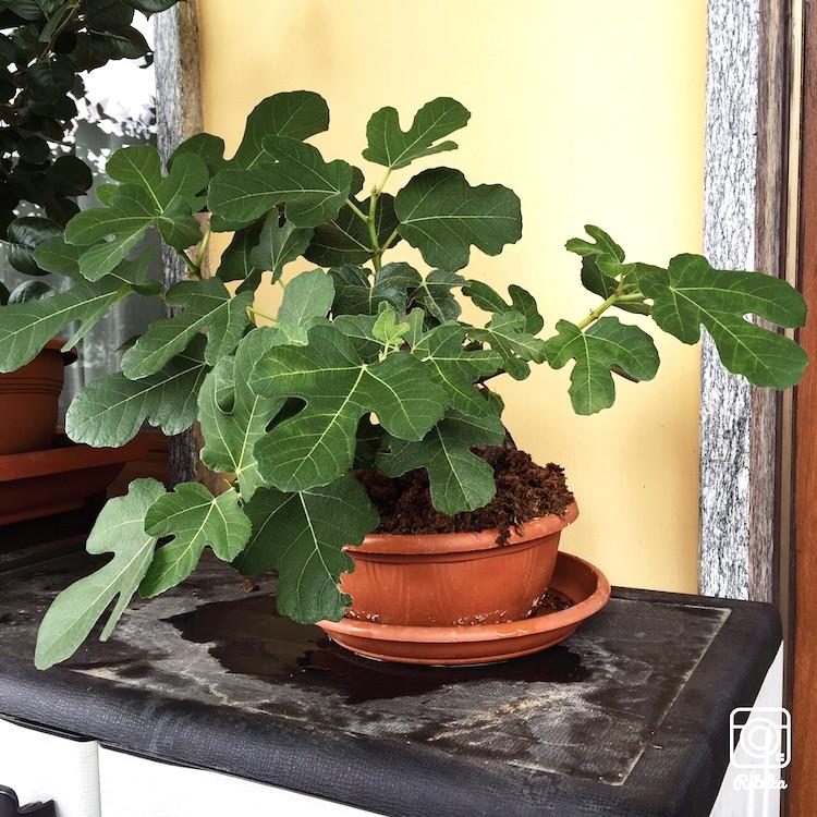 Yamadori di Ficus carica, new entry in collezione... Img_7510