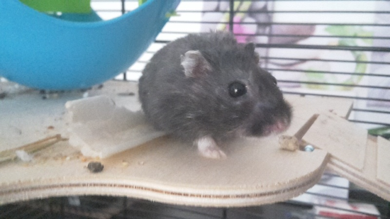 Hamster russe ou hamster Campbell? Image17
