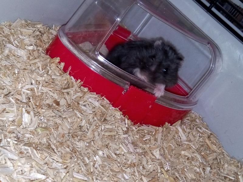 Hamster russe ou hamster Campbell? Image23