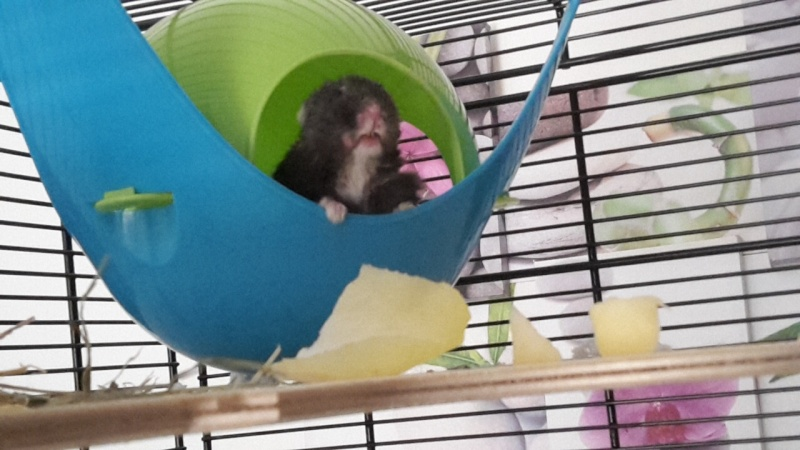 Hamster russe ou hamster Campbell? Image24