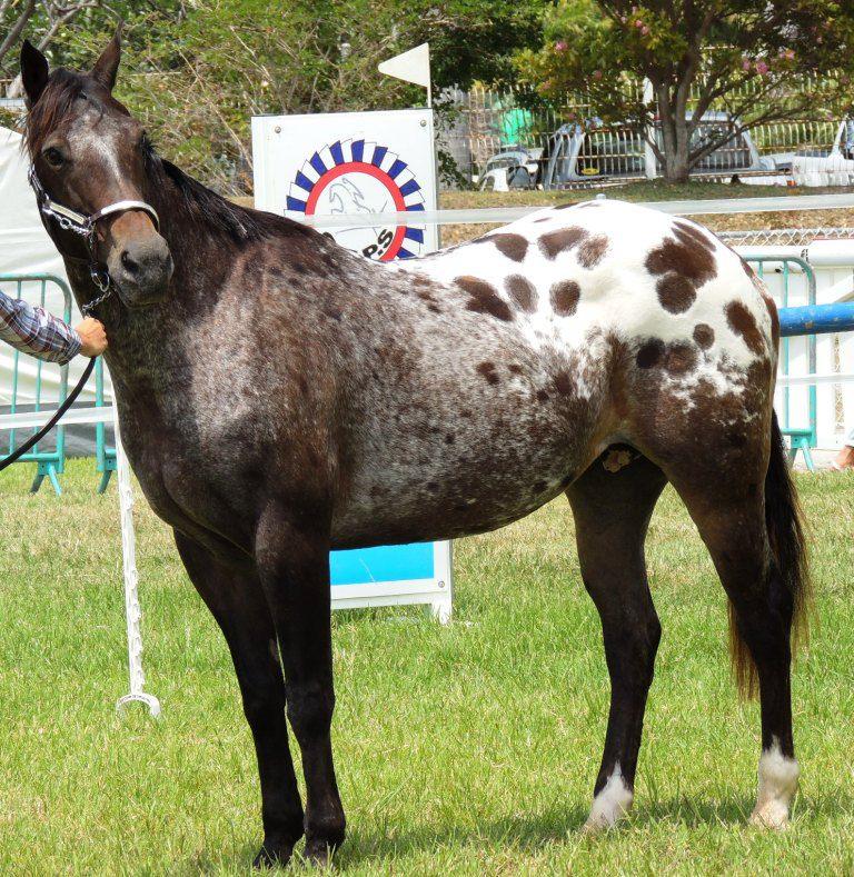 Le cheval toiletté Heiva11