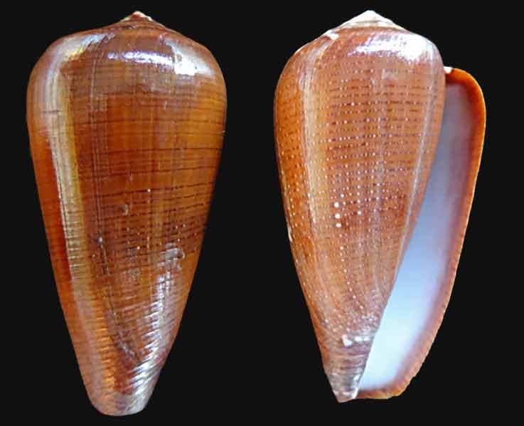 Conus (Darioconus) vezoi  (Korn, W., H.-J. Niederhöfer & M. Blöcher, 2000) Conus-11