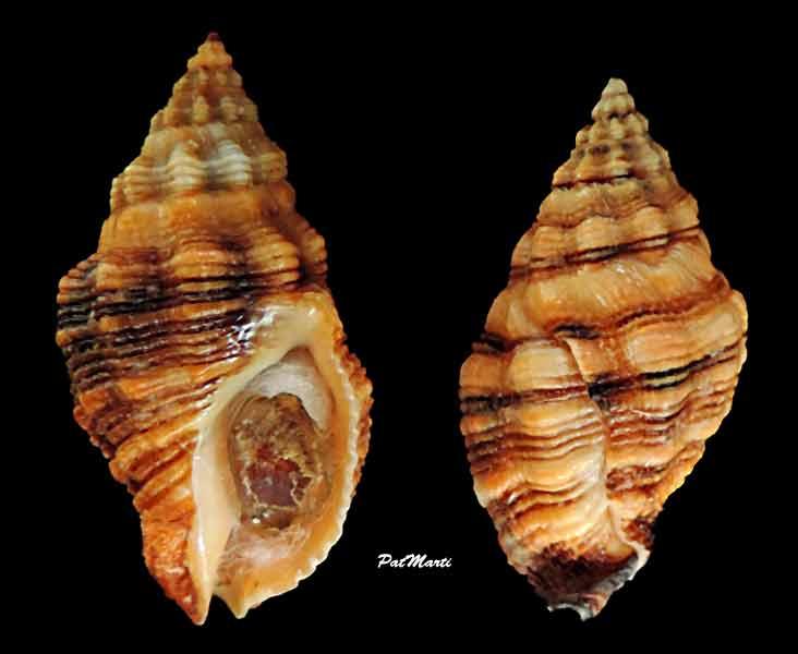 Cronia aurantiaca - (Hombron & Jacquinot, 1848) Cronia10
