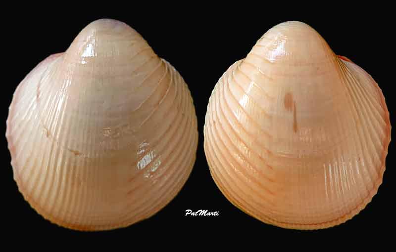 Lyrocardium lyratum - (G. B. Sowerby II, 1840)  Lyroca10