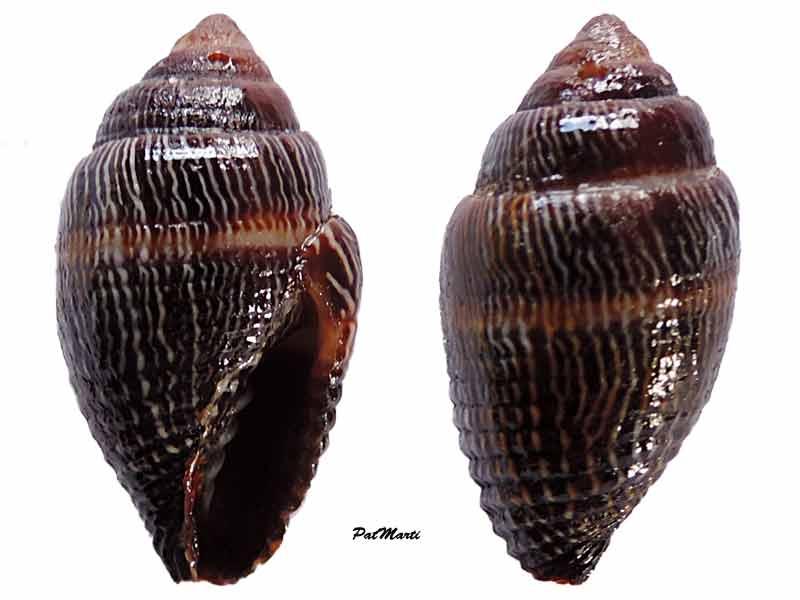 Strigatella retusa - (Lamarck, 1811)  Mitra-10