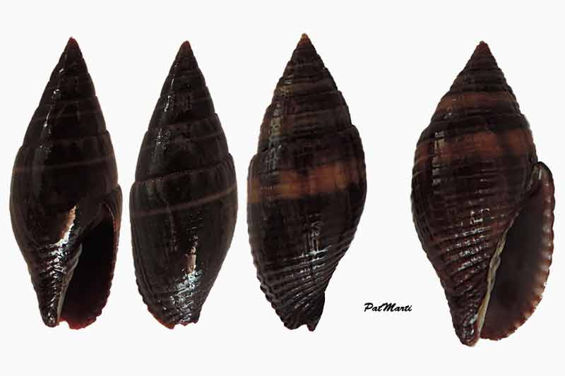 Strigatella aurantia - (Gmelin, 1791)  Mitra-11