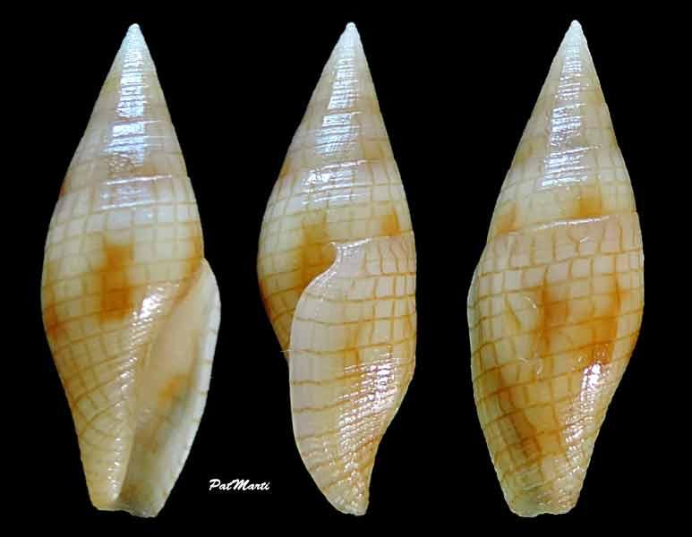 Mitromorphidae - Mitromorpha dorcas - (Kuroda & Oyama, 1971)  Mitrom10