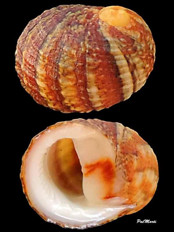 Nerita signata - Lamarck, 1822 Nerita11