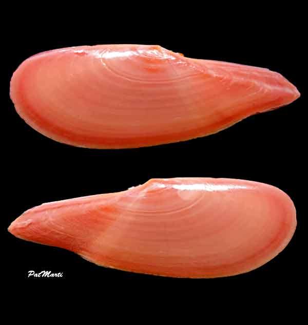 Dallitellina rostrata - (Linnaeus, 1758) Tellin10