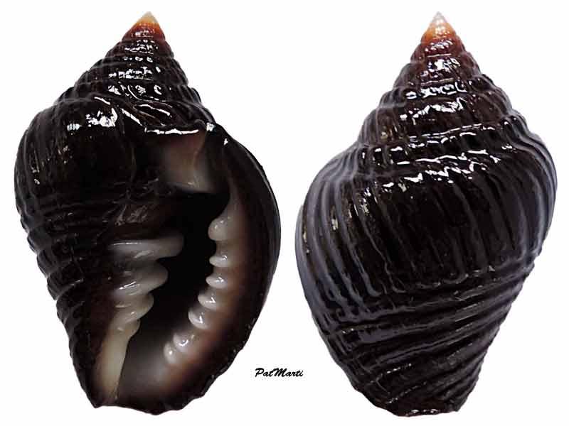 Vexillum ziervogelii - (Gmelin, 1791) Zierli10