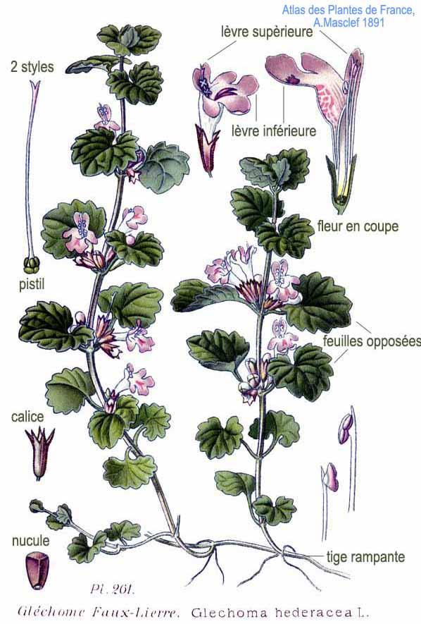 12 herbes médicinales à connaître absolument 261_gl10