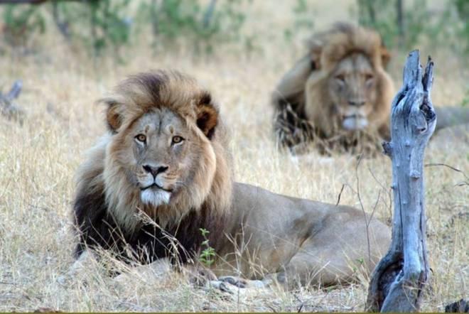 Luani simbol i Zimbavesë vritet nga një turist Luabn110