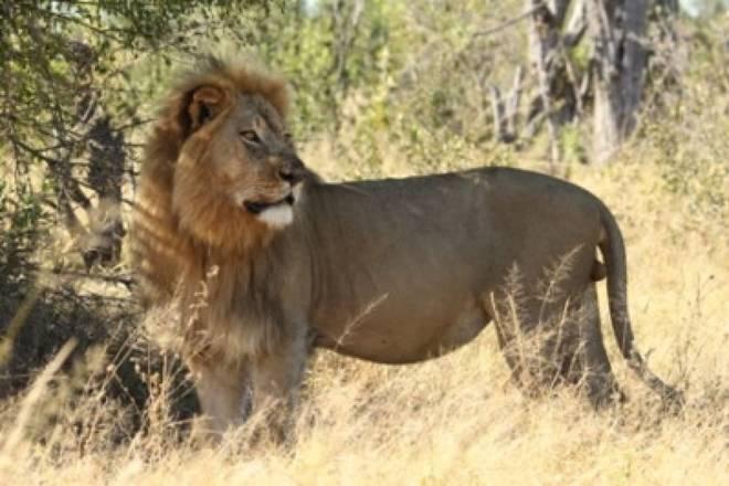 Luani simbol i Zimbavesë vritet nga një turist Luan210