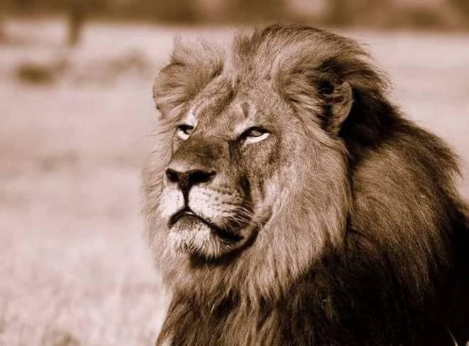 Luani simbol i Zimbavesë vritet nga një turist Luani10