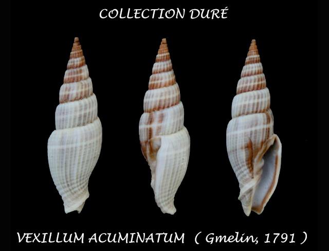 Vexillum acuminatum - (Gmelin, 1791) Panor100