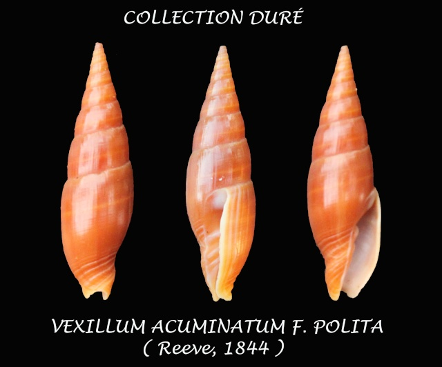 Vexillum acuminatum - (Gmelin, 1791) Panor101