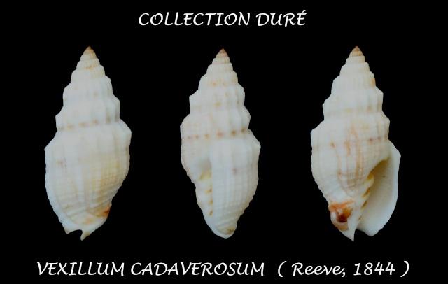 Vexillum cadaverosum - (Reeve, 1844) Panor105