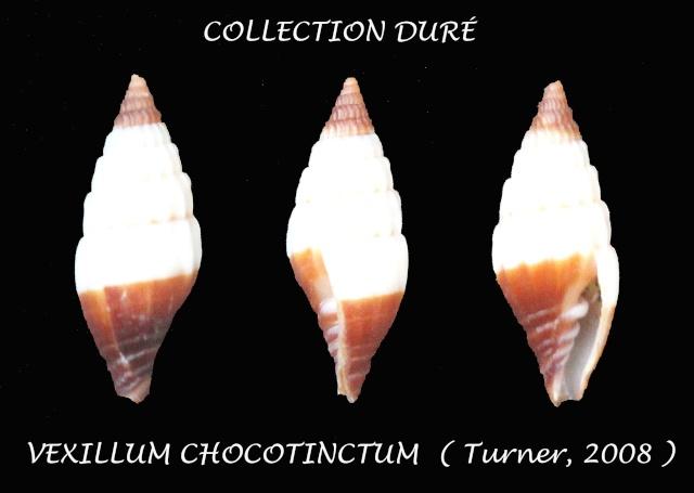 Vexillum chocotinctum - H. Turner, 2008 Panor108