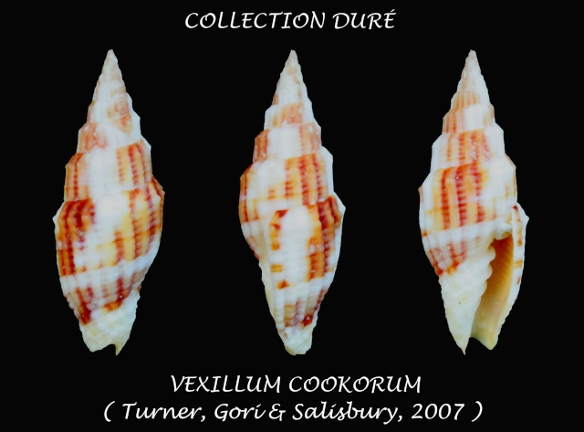 Vexillum cookorum - H. Turner, Gori & Salisbury, 2007  Panor110
