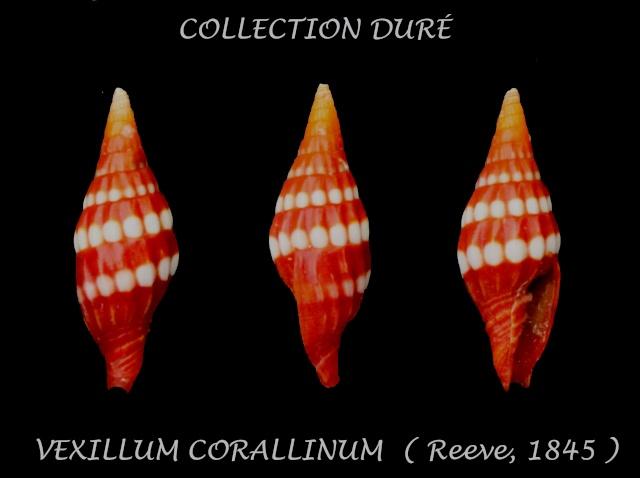 Protoelongata corallina - (Reeve, 1845) Panor111