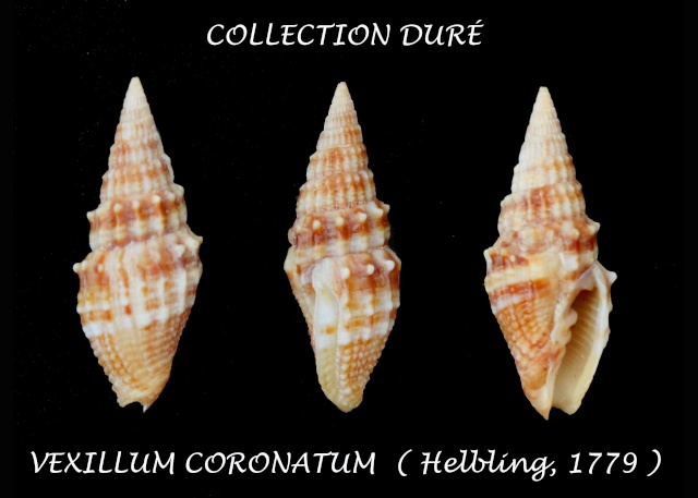 Vexillum coronatum - (Helbling, 1779)  Panor112