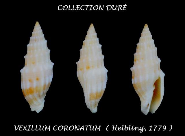 Vexillum coronatum - (Helbling, 1779)  Panor113