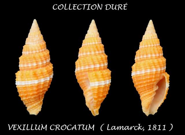 Vexillum crocatum - (Lamarck, 1811) Panor114