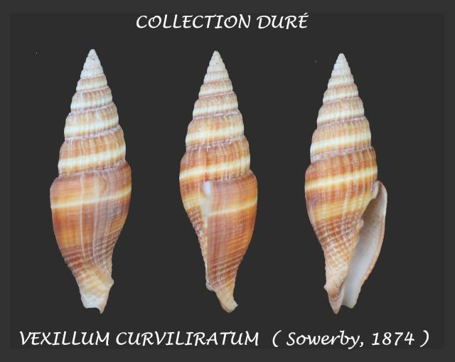 Vexillum curviliratum - (G. B. Sowerby II, 1874) Panor118
