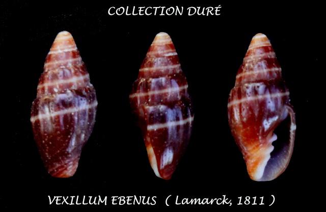 Pusia ebenus - (Lamarck, 1811) Panor120