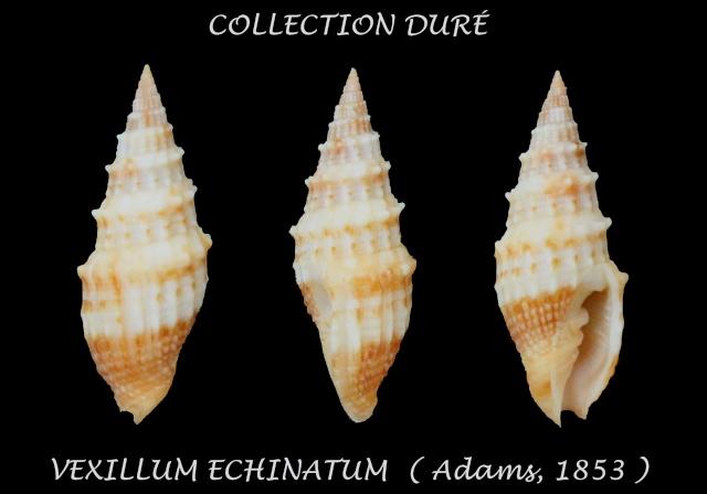 Vexillum echinatum - (A. Adams, 1853)  - Page 2 Panor121
