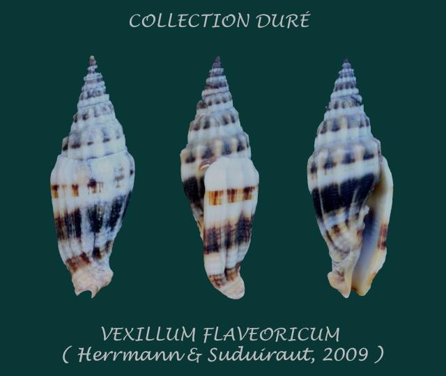 Vexillum flaveoricum - Herrmann & Guillot de Suduiraut, 2009   Panor122