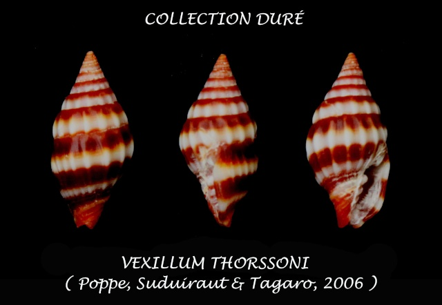 Vexillum thorssoni - Poppe, Guillot de Suduiraut & Tagaro, 2006 Panor123