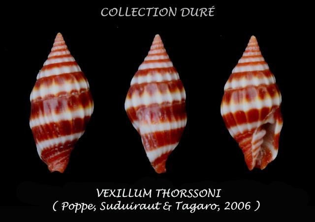 Vexillum thorssoni - Poppe, Guillot de Suduiraut & Tagaro, 2006 Panor124