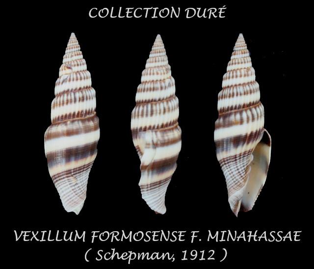 Vexillum formosense minahassae - (Schepman, 1912) Panor127
