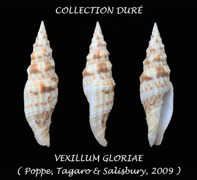 Vexillum gloriae - Poppe, Tagaro & Salisbury, 2009 - Page 2 Panor128